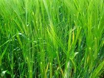 大麦背景 免版税库存图片