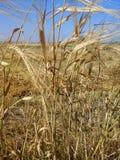 大麦茎  库存照片
