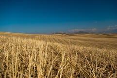 大麦草甸 库存照片