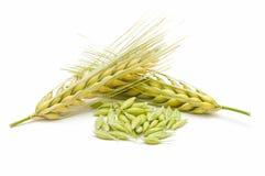 大麦谷物峰值 免版税库存照片