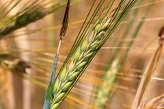大麦钉的细节 免版税图库摄影
