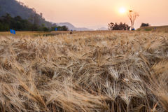大麦领域和农村场面日落  图库摄影