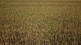 大麦领域和好日子,美好的自然风景 r 股票录像