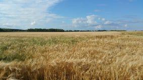 大麦领域和蓝色多云天空 免版税库存图片