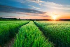 大麦领域在康沃尔郡 免版税库存照片