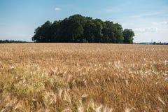 大麦领域在阳光下与成熟耳朵和树 免版税库存照片