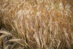 大麦领域在阳光下与麦子的成熟耳朵 库存照片