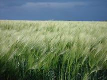 大麦领域在风雨如磐的天空下 库存图片