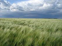 大麦领域在风雨如磐的天空下 图库摄影