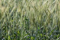 大麦领域早晨 图库摄影