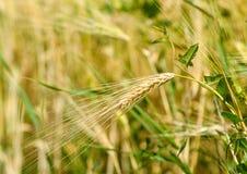 大麦领域特写镜头 库存照片