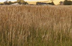大麦领域,关闭 库存图片