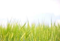 大麦领域 图库摄影