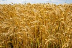 大麦从一个低方面 免版税库存图片