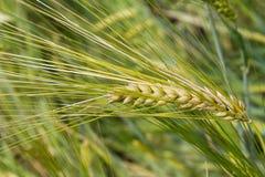 大麦(大麦属vulgare),特写镜头 免版税库存照片