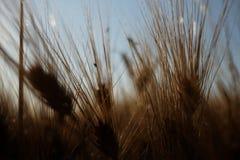 大麦(大麦属vulgare) 免版税库存照片
