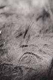 大麦-黑白摘要 库存照片