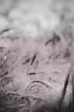 大麦-黑白摘要 库存图片