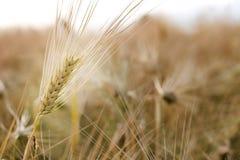 大麦 免版税库存图片