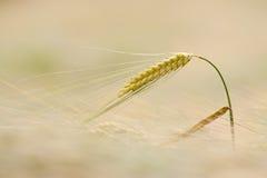 大麦 库存照片