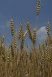 大麦头 库存图片