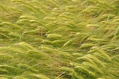大麦4 免版税库存图片