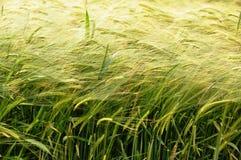 大麦5 库存图片