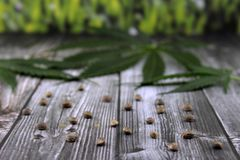 大麻叶子和种子 免版税库存照片