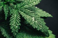 大麻叶子,大麻美好的背景 免版税库存照片
