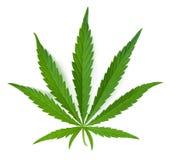 大麻叶子 免版税图库摄影