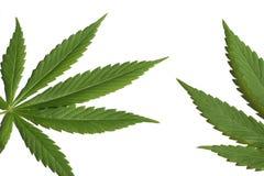 大麻叶子 免版税库存照片