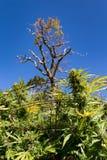大麻和树 库存图片