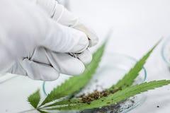 大麻在实验室服麻醉剂,对大麻的分析 免版税图库摄影