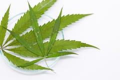 大麻在实验室服麻醉剂,对大麻的分析 库存照片