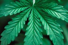 大麻在年轻c的美丽的叶子和肩带一张黑暗的背景宏观照片离开  免版税图库摄影