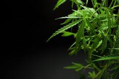 大麻在黑暗的背景离开,大麻,美好的背景,室内耕种 库存图片
