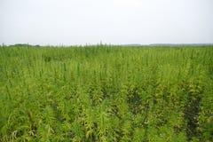 大麻域 免版税库存图片