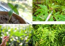 大麻大麻叶子套四张照片 库存图片