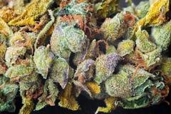 大麻宏观照片收获与用trichomes盖的叶子的锥体 大麻植物clse视图 免版税库存照片