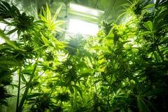 大麻室内耕种-大麻生长箱子 库存图片