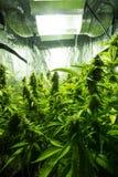 大麻室内耕种-大麻生长箱子 免版税库存照片