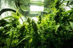大麻室内耕种-大麻生长箱子 免版税库存图片