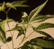 大麻工厂 免版税库存图片