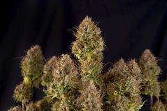 大麻植物原物桃红色匪徒大麻张力 库存图片