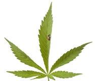 大麻瓢虫叶子 库存图片