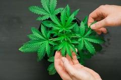 大麻生叶和消遣耕种和使用的人` s手概念大麻和草本 图库摄影