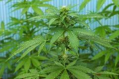 大麻种植与在打击的waterdrops 库存图片