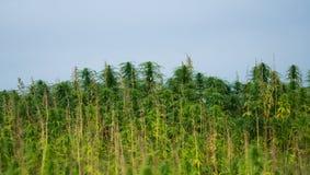 大麻种植生长在领域 图库摄影