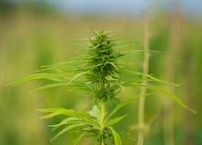 大麻种植生长在领域 库存照片