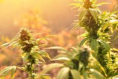 大麻种植生长户外,点燃由温暖的早晨光 免版税库存照片